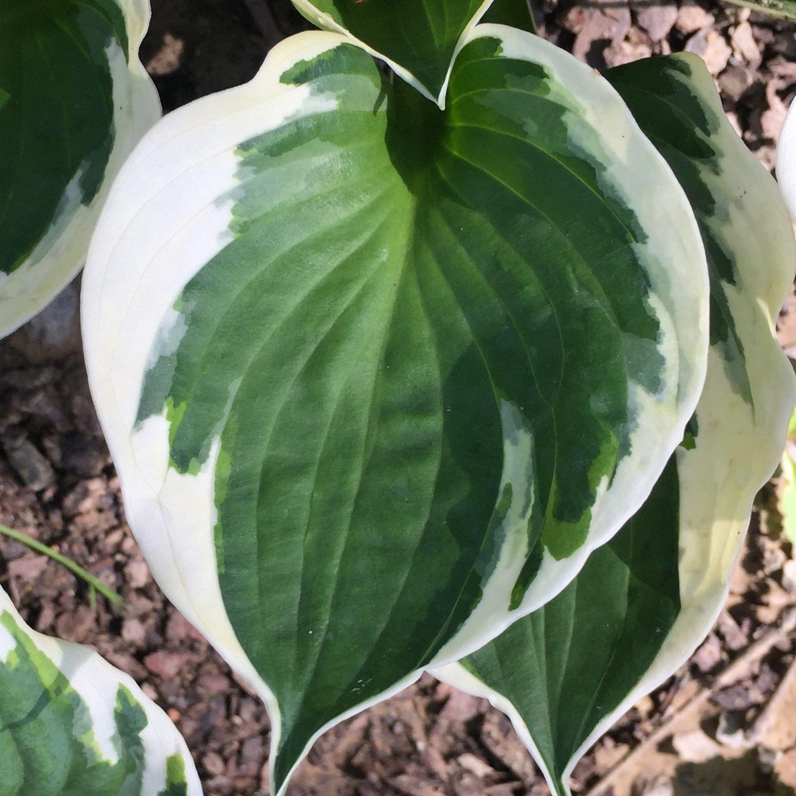 Leaf Of Minute Man Hosta Hostas Shade Garden Plants Shade