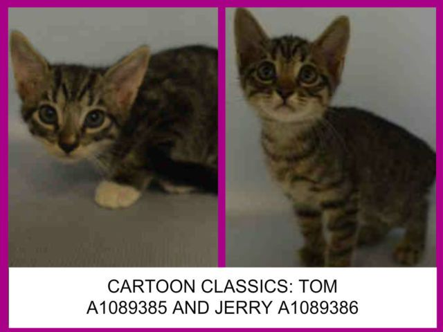Cartoon Classics Tom A1089385 And Jerry A1089386 Brooklyn To Be Destroyed 09 15 16 These Cartoon Classic Kittens Are Trul Foster Cat Cartoon Animal Help