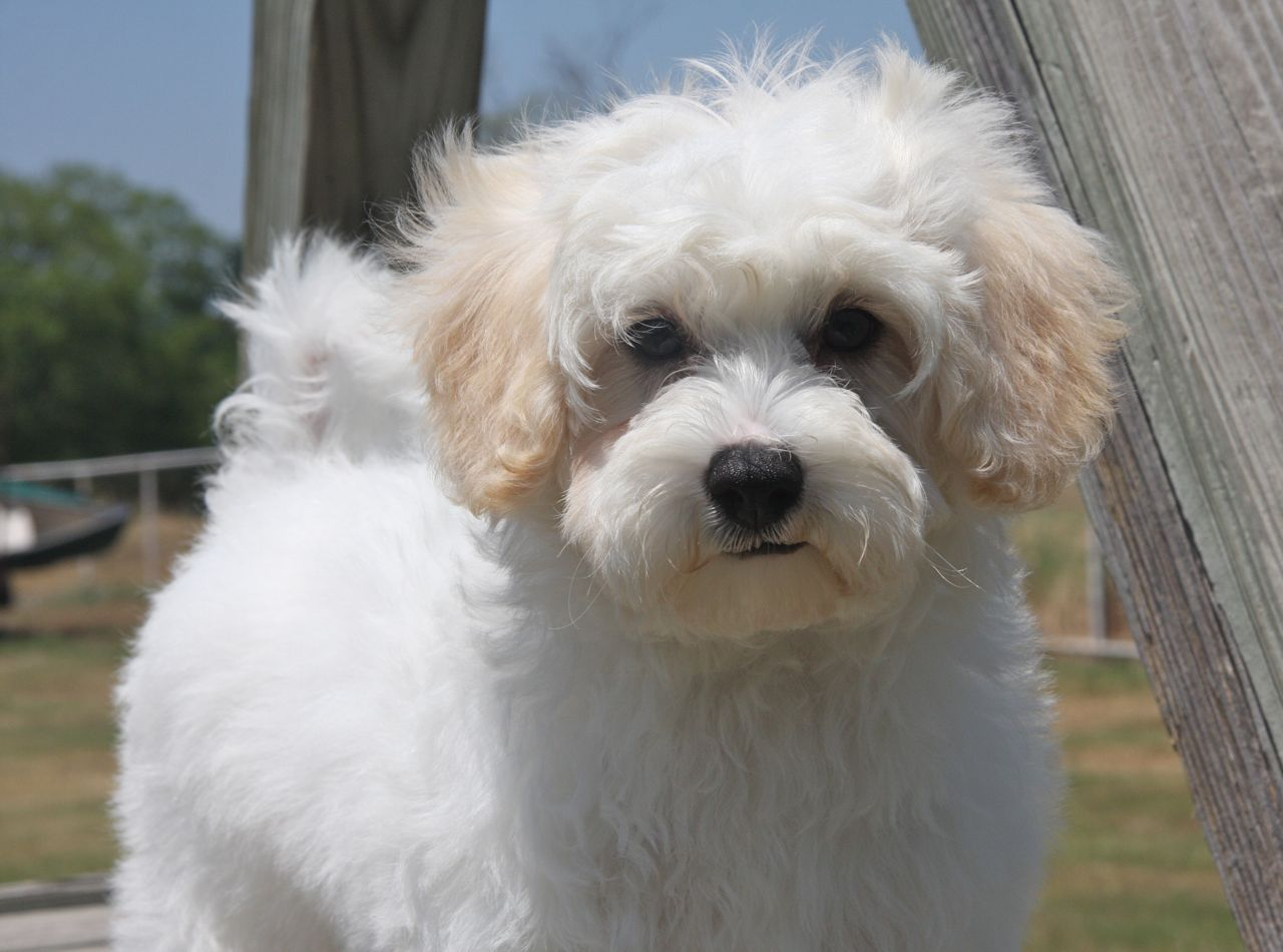 Maltipoo Puppies for sale in Gauteng South Africa