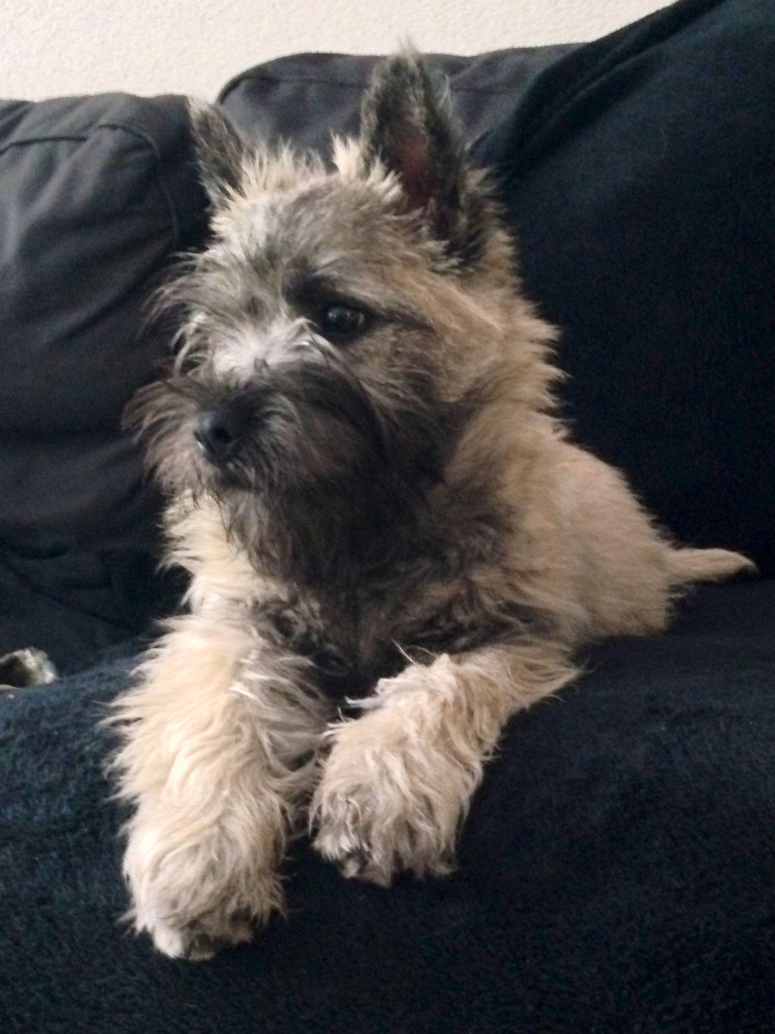 Beautiful Baby Terrier Puppies Cairn Terrier Terrier