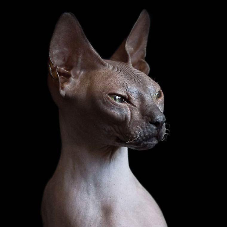 Les portraits étonnants des Sphynx, une race de chats sans poil originaire du Canada,