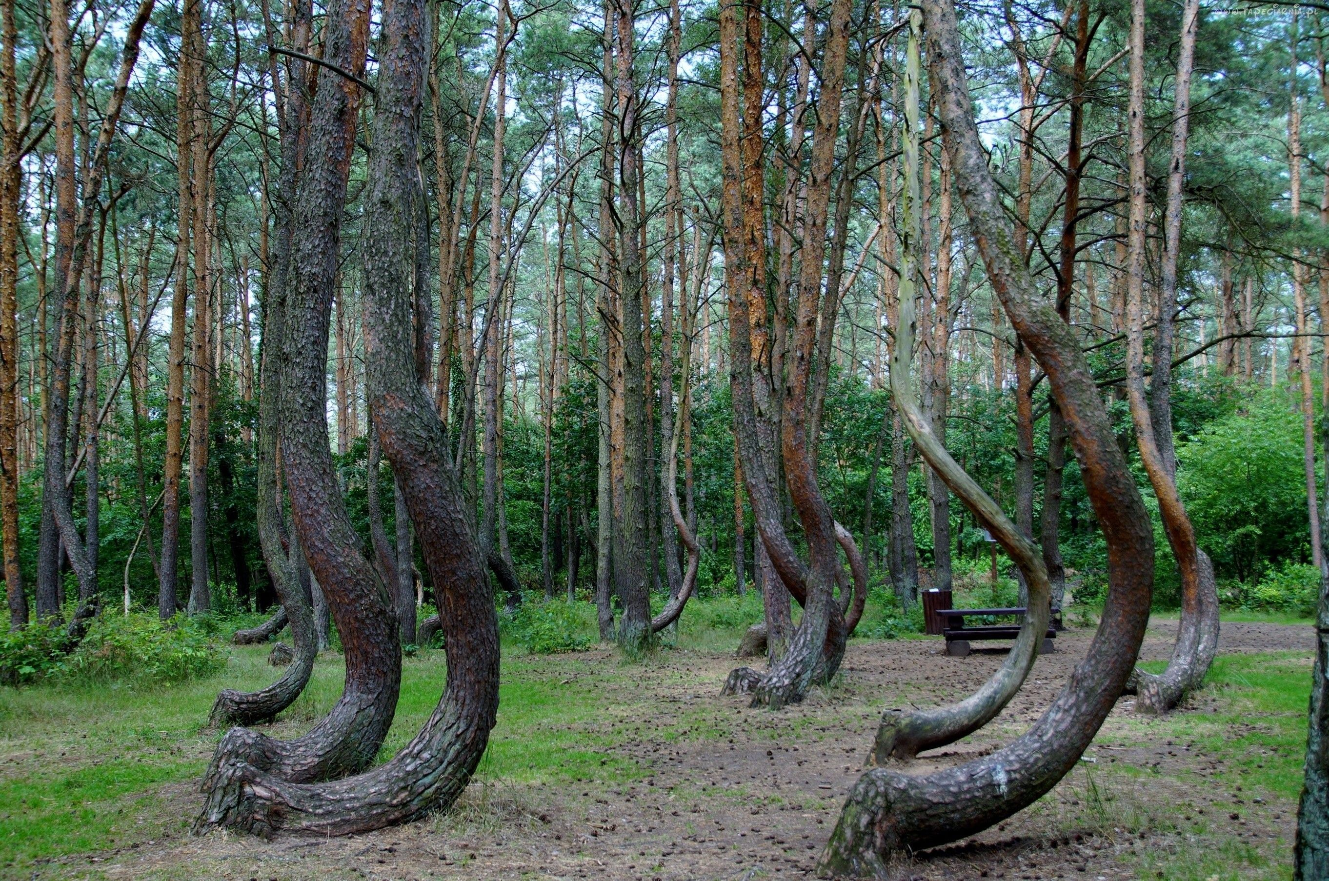 Krzywy Las Polska Nowe Czarnowo Sosny Tapeciarnia Pl Las - To this day the mystery of polands crooked forest remains unexplained