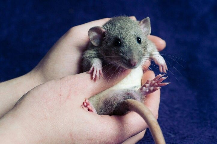 Dalfie the rat