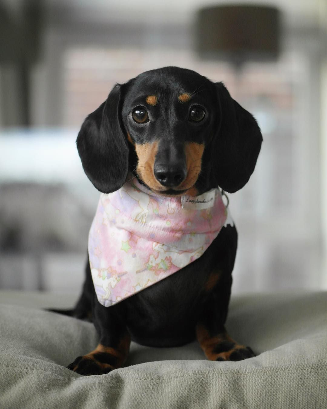 Dachshund Products Apparel And Gifts Dogs Dachshund Doxie Puppies