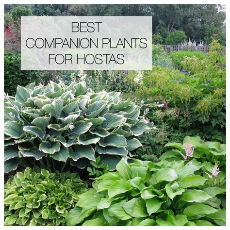 Hostas can hold their own in a shade garden but pairing them with bulbs and other perennials will accentuate their natural beauty and extend the season