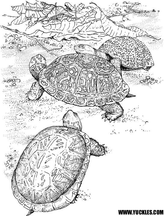 Turtle Unit T Non Cartoonish Turtle Coloring Page Turtle