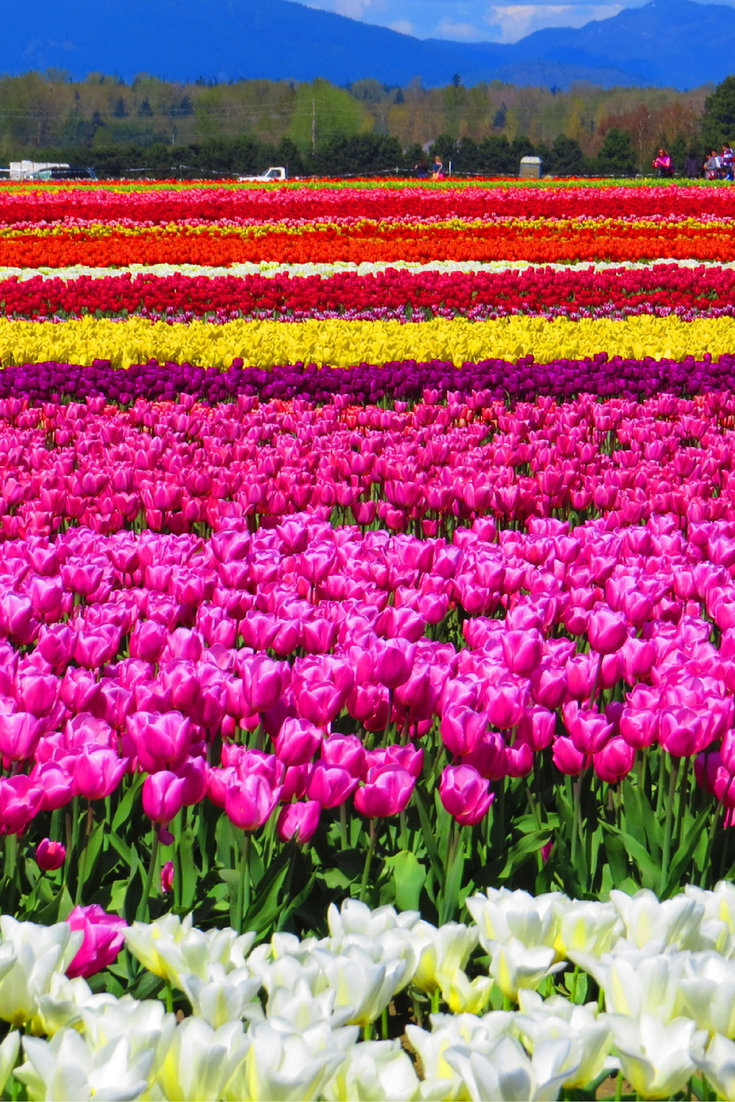 Of tulips cecila san tags flower field photoshop vintage tulips - Tulip Fields At The Skagit Valley Tulip Festival In Washington Click Through To Read A