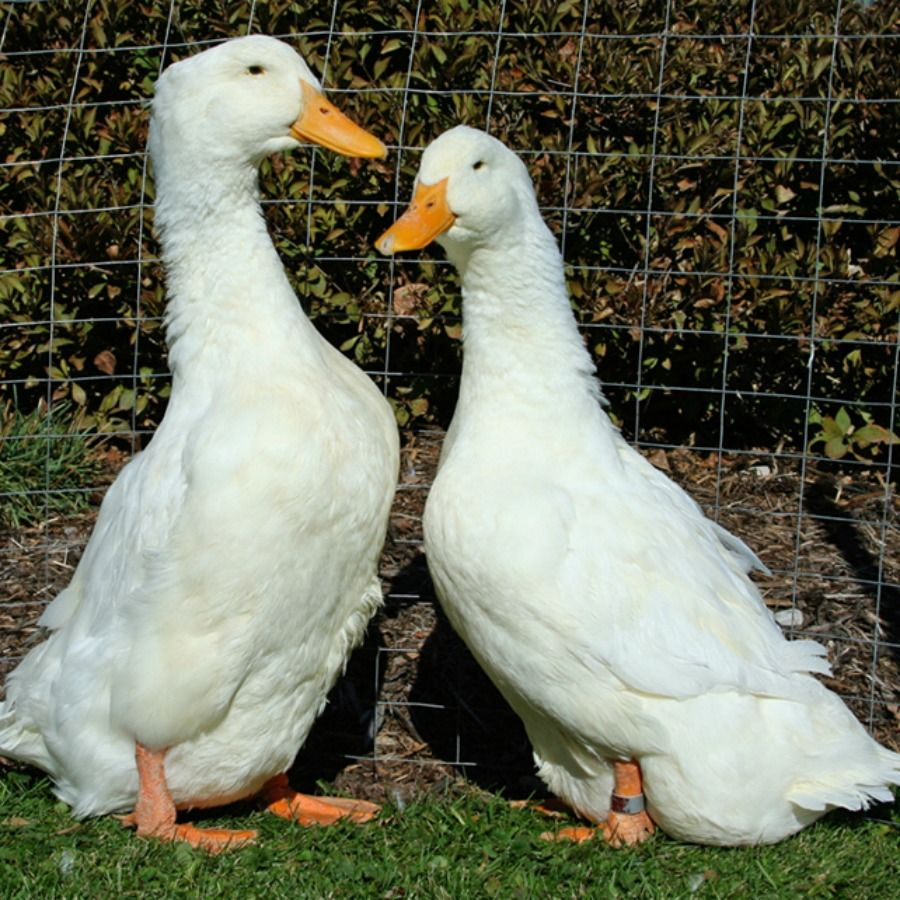 Jumbo pekin ducklings pekin duck and animal jumbo pekin ducklings purely poultry purelypoultry nvjuhfo Image collections
