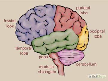 How to Draw a Brain   Brain drawing, Brain anatomy, Brain ...