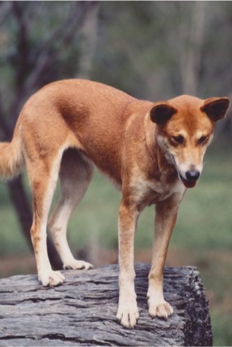 Dingo Lady: SHEILA – Berenice's Constant Companion