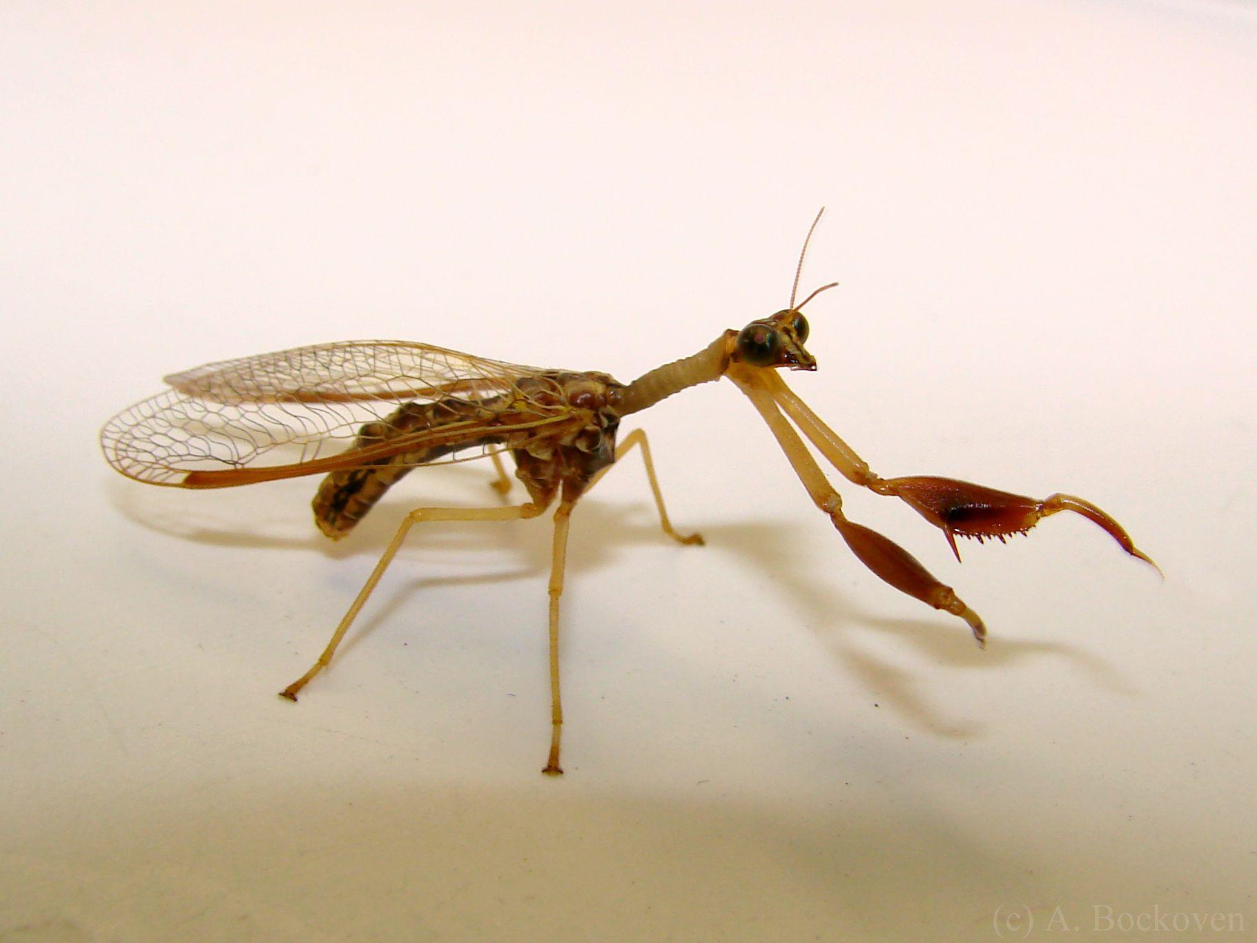 Mantispidae sp. Mantidfly sp.