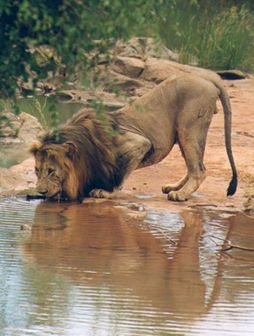 Adult Male Lion - Drinking Alone.  Madikwe Game Reserve,  South Africa.