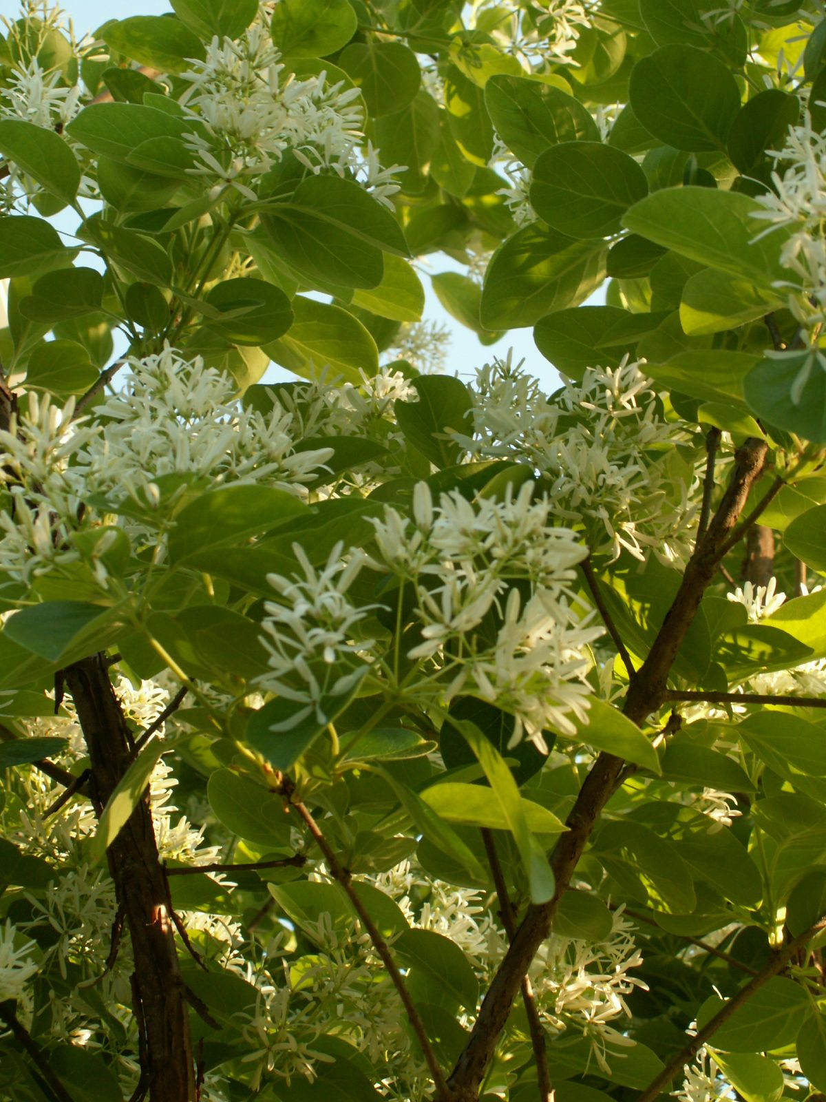 Chionanthus Virginicusfringe Tree Delicate Fragrant White Flowers