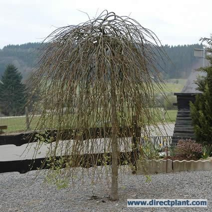 Treurwilg (Salix caprea 'Kilmarnock')