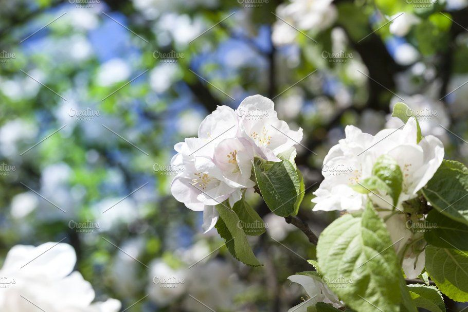 White Flowers White Flowers Flowers Blooming Trees