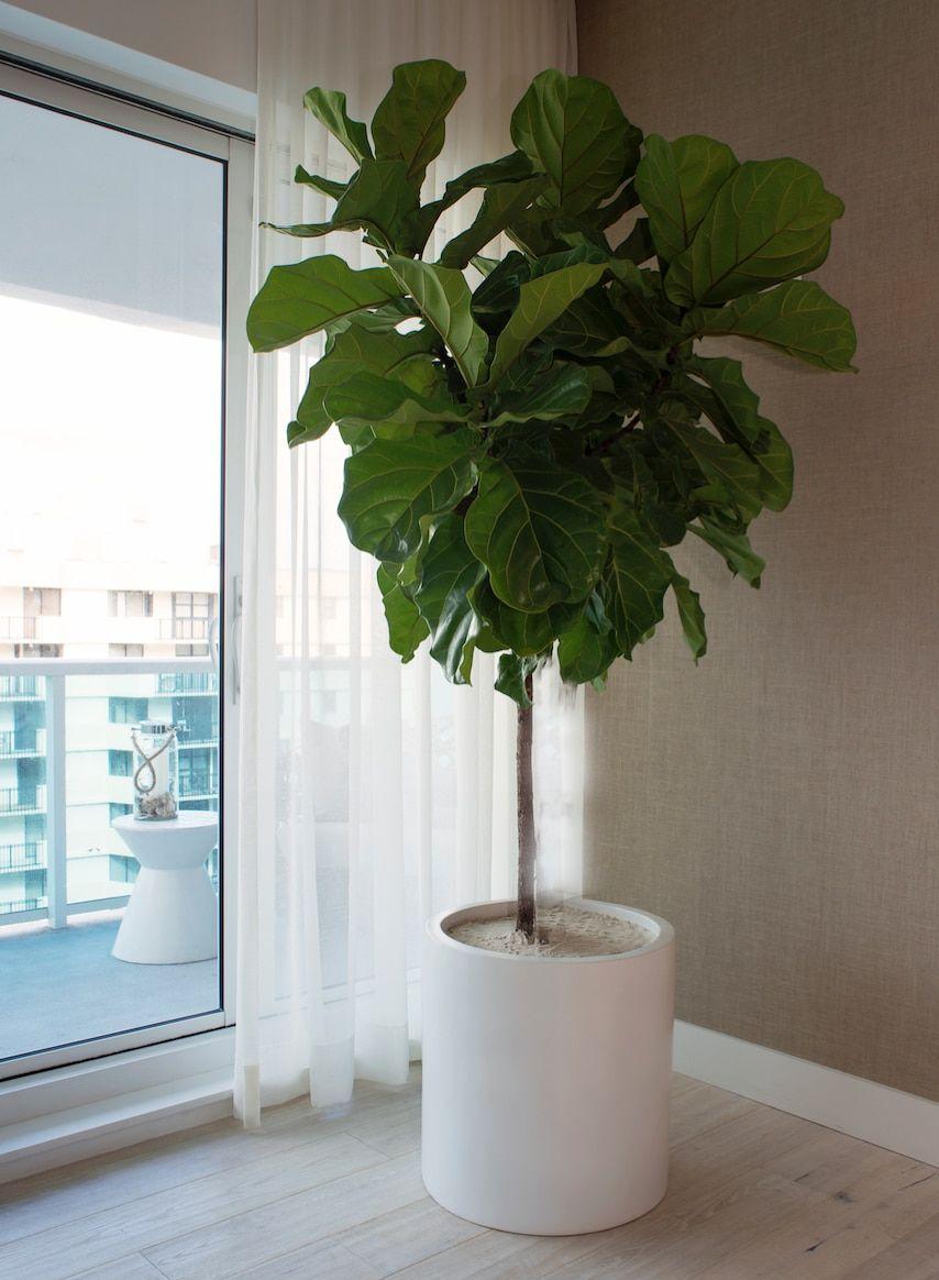 étourdissant  Mot-Clé Milano Cylinder Small White – Ficus Lyrata Fiddle Leaf Tree