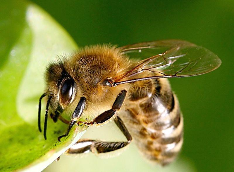 Erste Hilfe bei Bienen oder Wespenstich Wenn Bienen und
