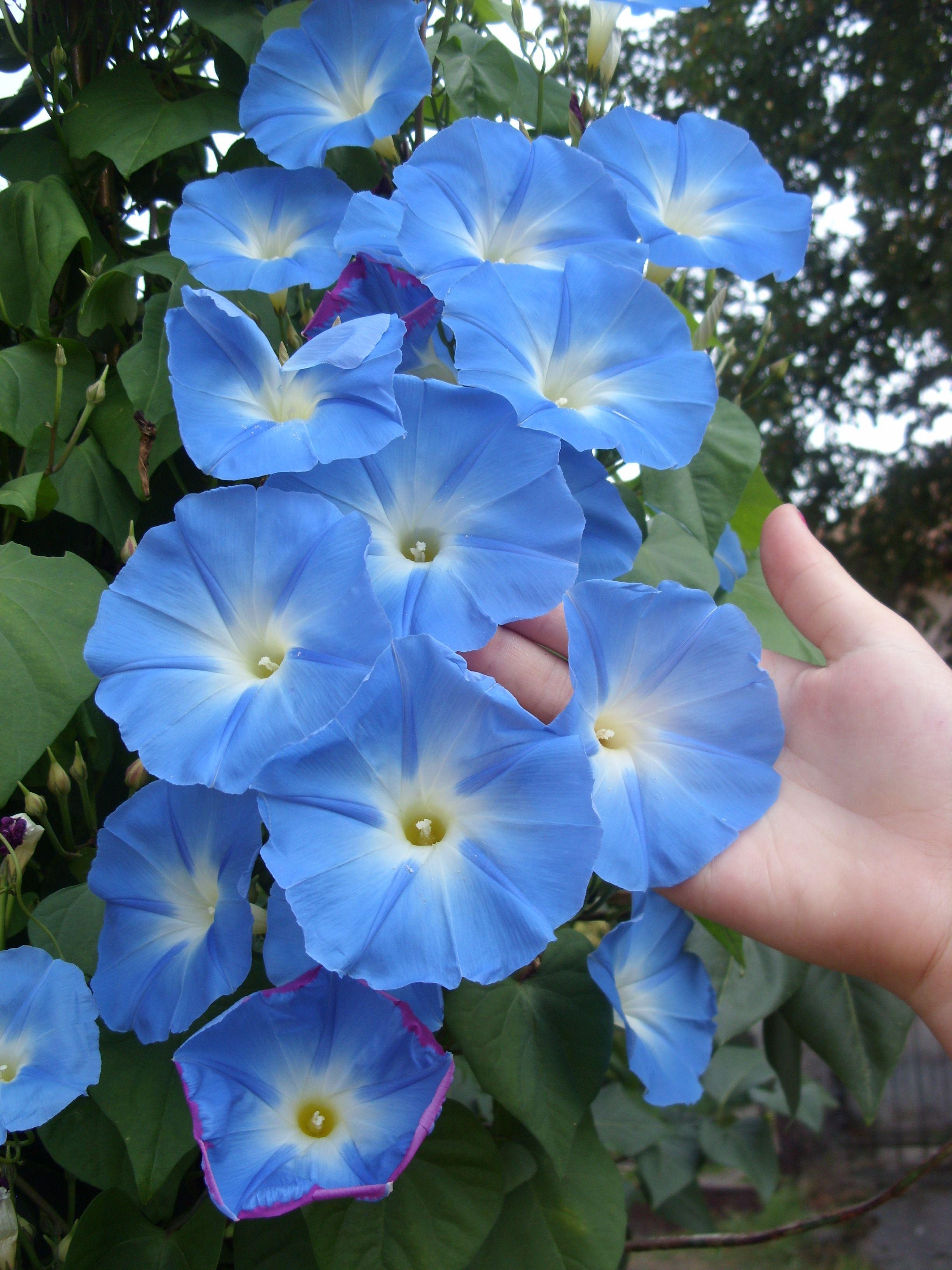 Kék hajnalka Garden, Morning glory vine, Flower seeds