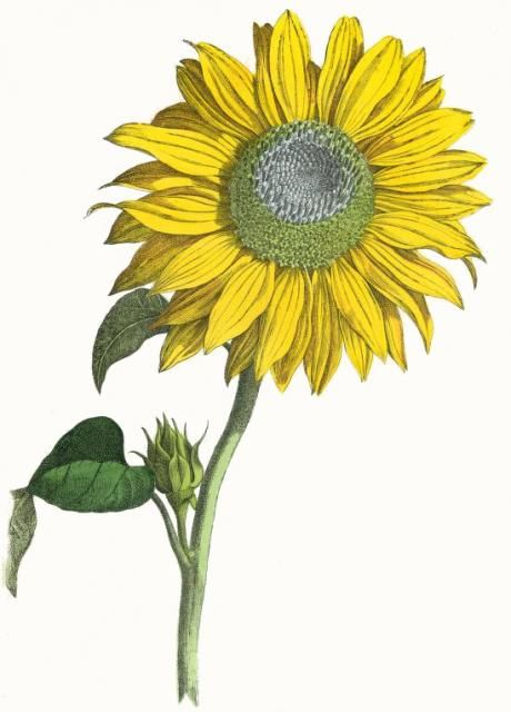 Vintage botanical print of a giant sunflower in full bloom ...