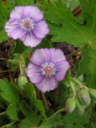 3 Geranium Phaeum Plants