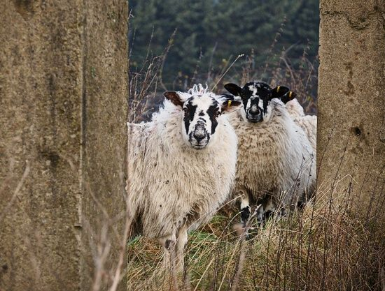 Sentry sheep by Alison Tomlin · 365 Project