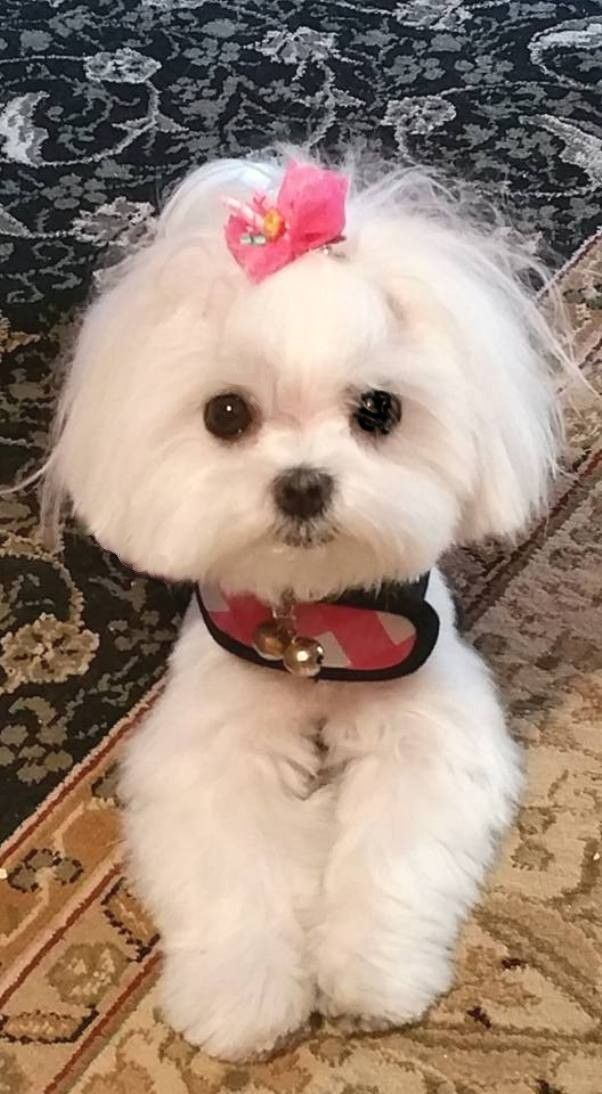 Say Hi To Chibi Maltese Dogs Maltese Puppy Dog Haircuts