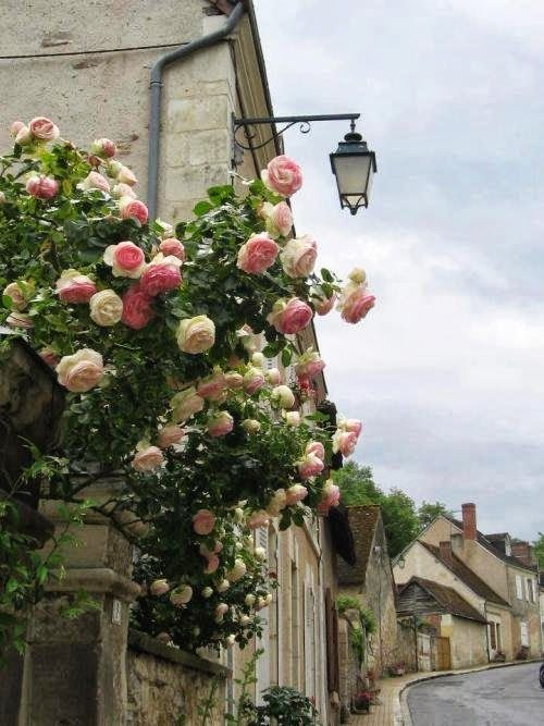 Pink Roses in An English Village | Content in a Cottage