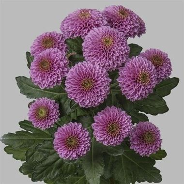Chrysanthemums Santini Doria Wholesale Flowers Florist Supplies Uk Wholesale Flowers Chrysanthemum Florist Supplies