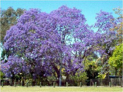 Ricos Most Wanted Blue Flamboyan Tree Purple Treespurple Flowersjacaranda