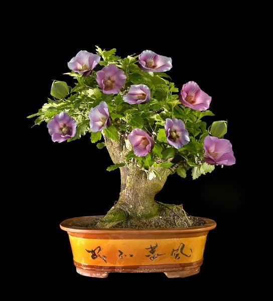 Hibiscus syriacus bonsai bonsai pinterest bonsai for Bonsai pflanzen