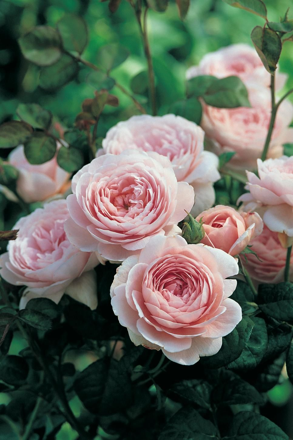The Most Popular English Roses In America Roses Pinterest