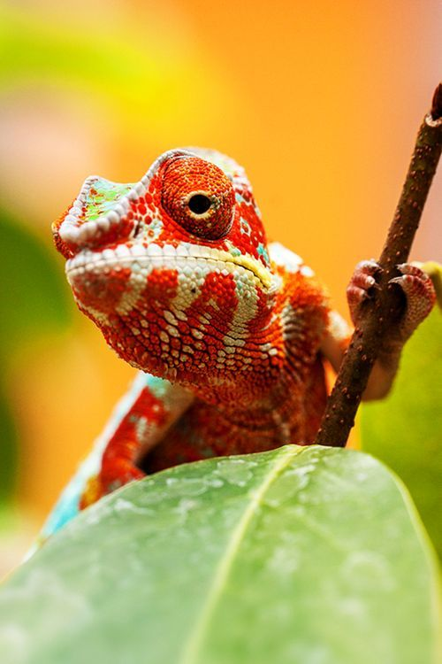 reptiles animal chameleon frog -#main