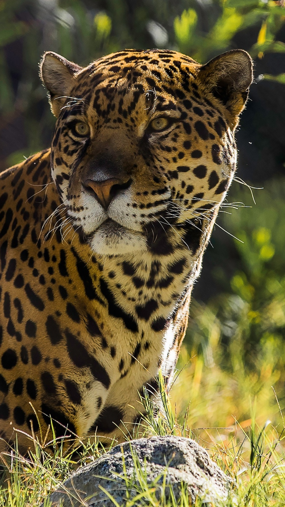 Pin on Jaguar pictures