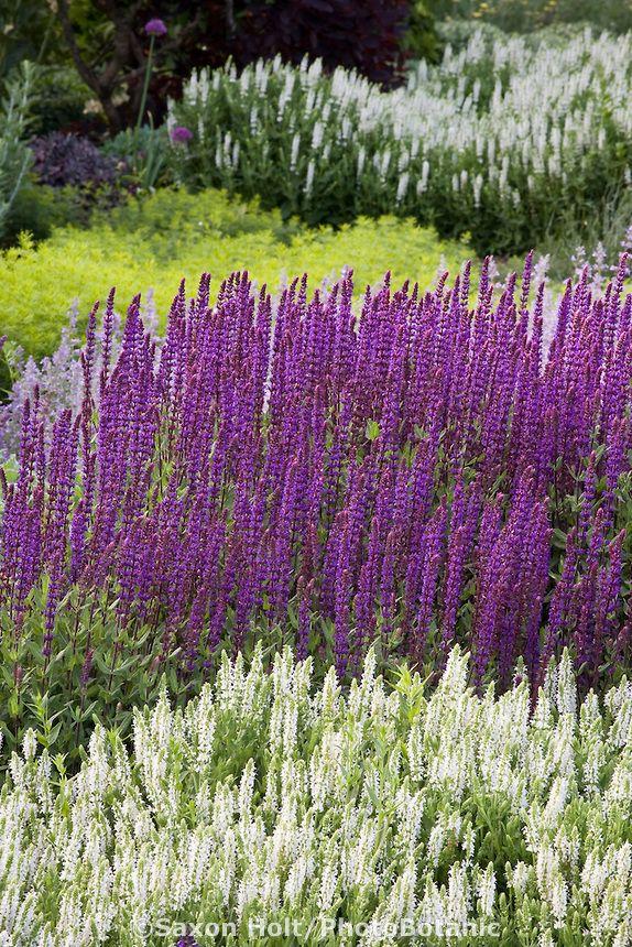 salvia nemorosa 39 caradonna 39 purple perennial sage flower in border with white salvia 39 snow hill. Black Bedroom Furniture Sets. Home Design Ideas
