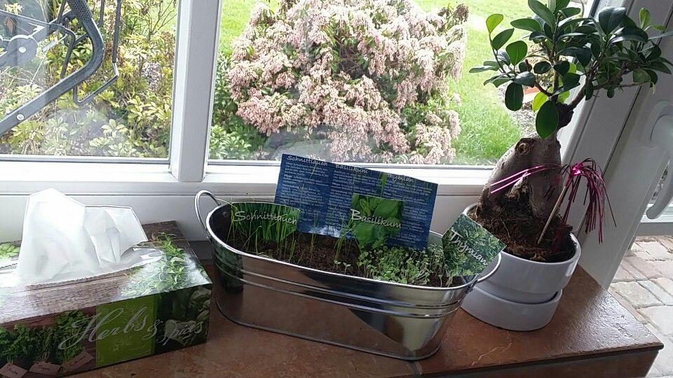 Ein bisschen Grün für's Zimmer ♡ Kleiner ficus-baum von IKEA, kräutertrio für 3 € bei Müller, Taschentücher mit kräuter Motiv von REWE...♡