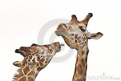 Giraffes Stock Photos, Images, & Pictures – (3,963 Images) - Page 15