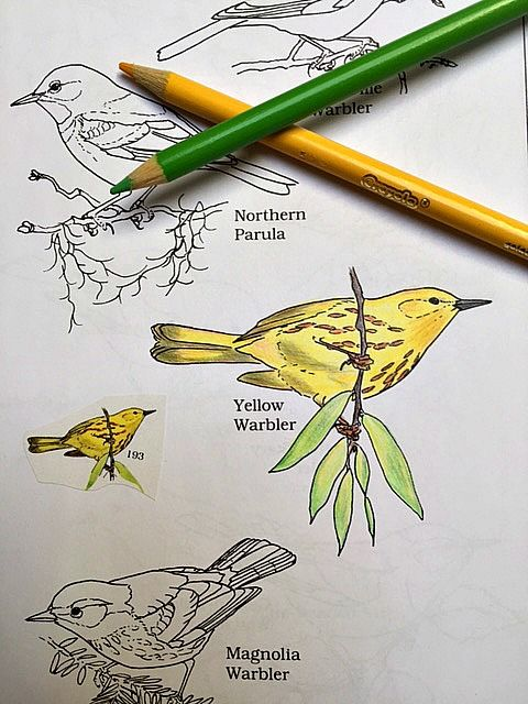 Learn Bird Identification In A Coloring Book Yellow Warbler The Peterson Birds