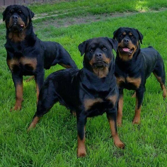 Rottweiler Dog Breed Information Dog Breeds Dogs Rottweiler Dog