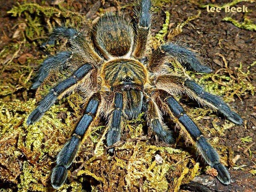 My Tarantism: Harpactira Pulchripes Tarantula