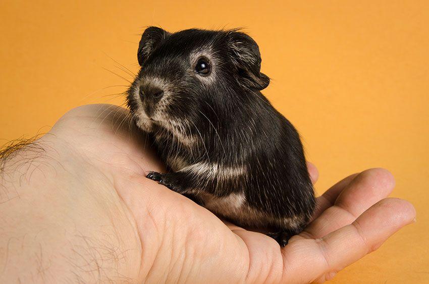 Baby otter guinea pig