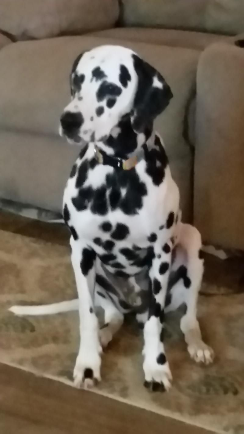 dalmatian dogs near me