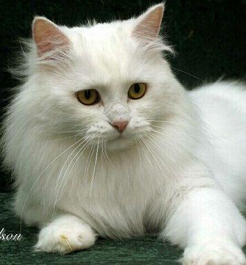 Siberians Cats from Kravchenko Siberians a Siberian Cat