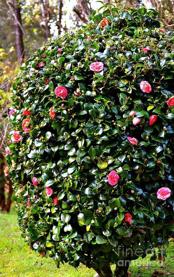 Pink Camelia Bush Lehua Pekelo Stearns Jpg 566 900 Pixels Screen Plants Camellia Plant Hydrangea Care