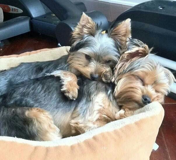2 Yorkiesssss Yorkie Puppy Toy Dog Breeds Yorkshire Terrier