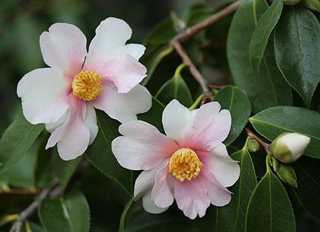 Sazanka The Name Means Dream In Japanese Flower Has A Very Unusual