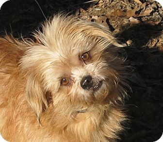 Spring Valley Ny Norfolk Terrier Shih Tzu Mix Meet Reddy A
