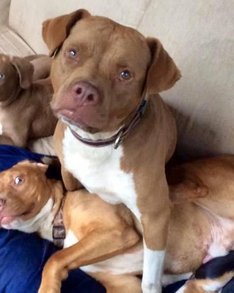 Archie Is An Adoptable Boxer Searching For A Forever Family Near