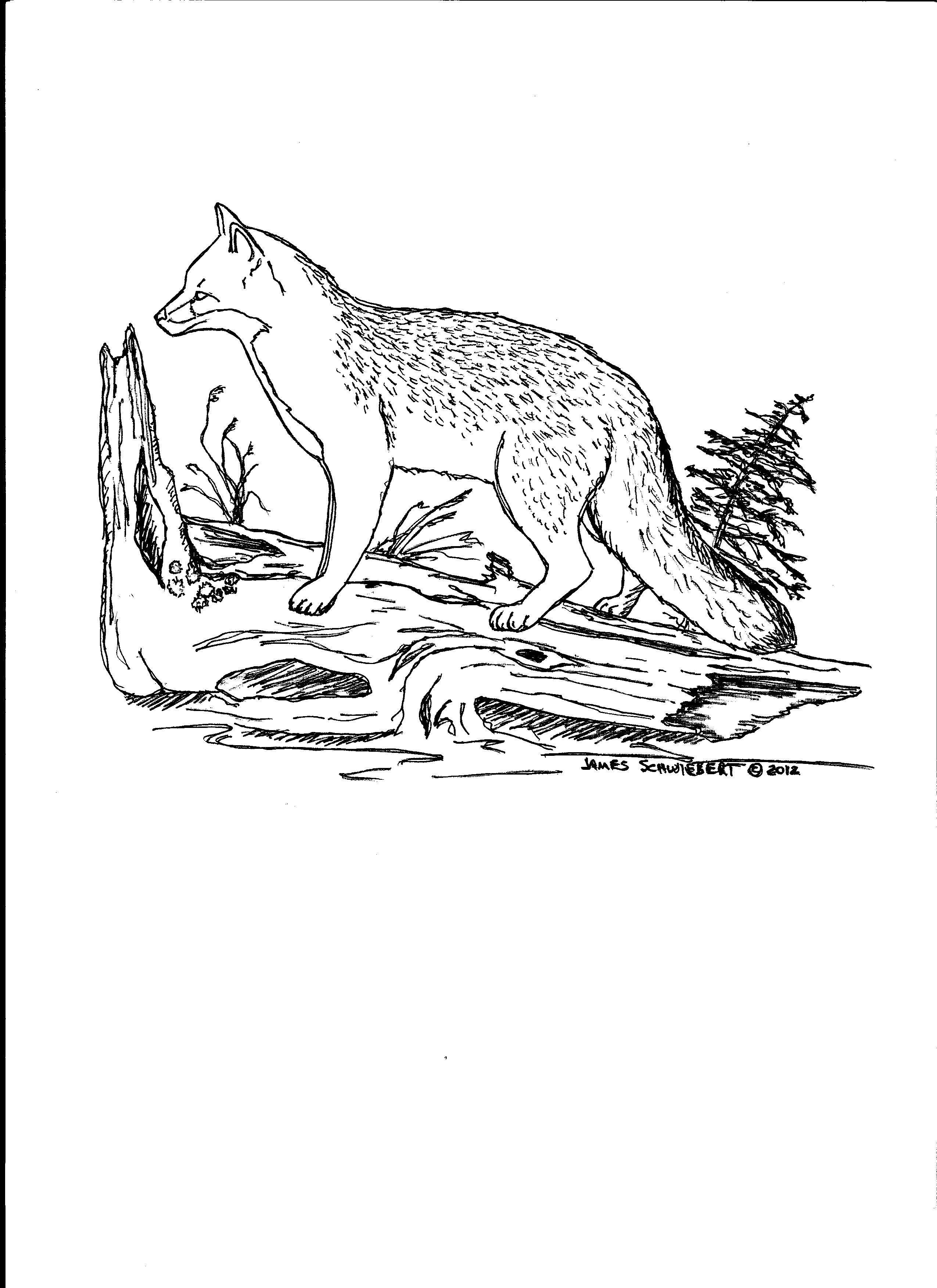 Grey Fox Coloring Page Fox Coloring Page Coloring Pages Drawings