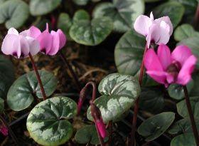 Cyclamen Coum Fruhlings Alpenveilchen Stauden Zwiebelbluher Liebenswerte Fruhlingsboten Alpenveilchen Pflanzen Gartnerei