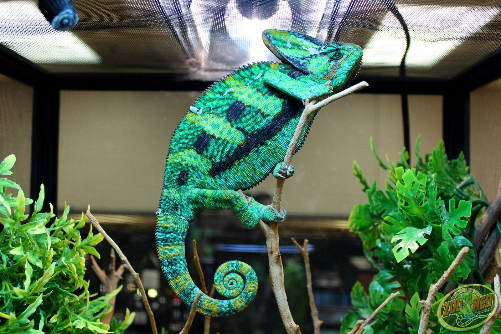 Veiled #Chameleon at Zoo Med Labs.
